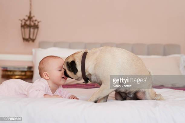 Puck dog licking new born baby in the face