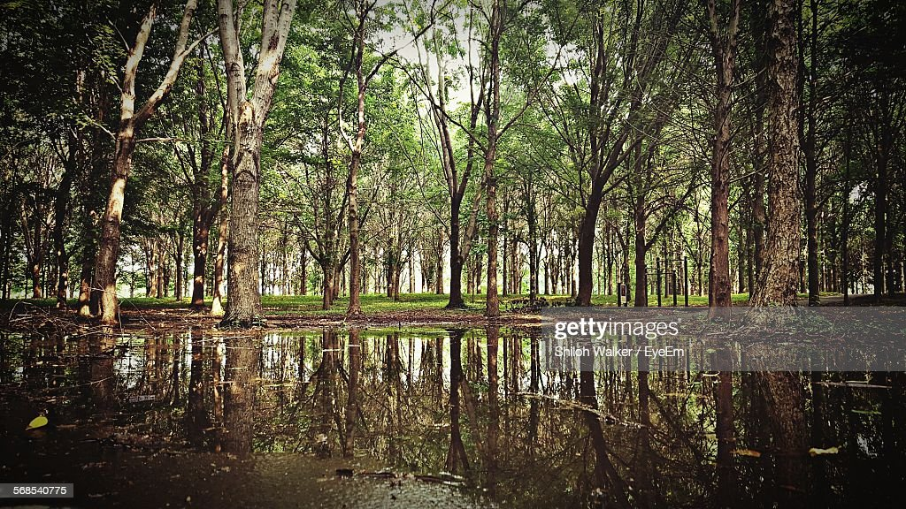 Puddle By Trees In Forest : Stock Photo