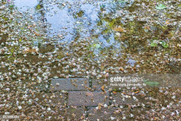 Puddle of rain in the street in spring time under a tree with flores and leaves in the soil