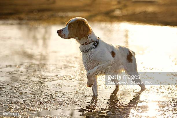 puddle - brittany spaniel stock pictures, royalty-free photos & images
