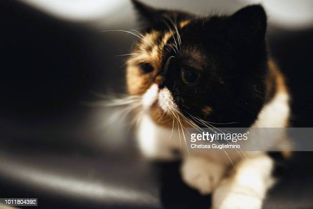 Pudge the Cat attends CatCon Worldwide 2018 at Pasadena Convention Center on August 5 2018 in Pasadena California