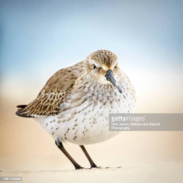 pudgy little overweight dunlin bird at jones beach state park - wantagh stock pictures, royalty-free photos & images