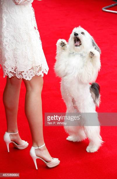 Pudsey attends the World Premiere of 'Pudsey The Dog The Movie' at Vue West End on July 13 2014 in London England