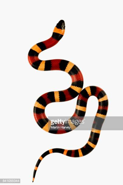 pueblan milk snake - snake stock pictures, royalty-free photos & images