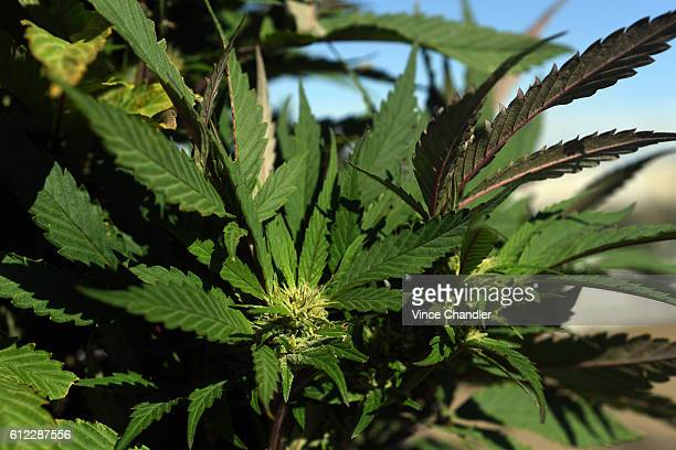 Pueblo County is one of the only places in Colorado that allows for commercial cannabis grows outside such as the marijuana farm Los Sueños Farms LLC...