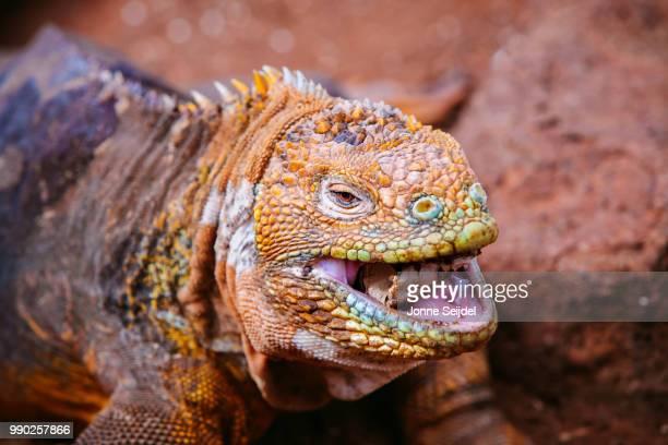 puerto ayora,ecuador - galapagos land iguana stock photos and pictures