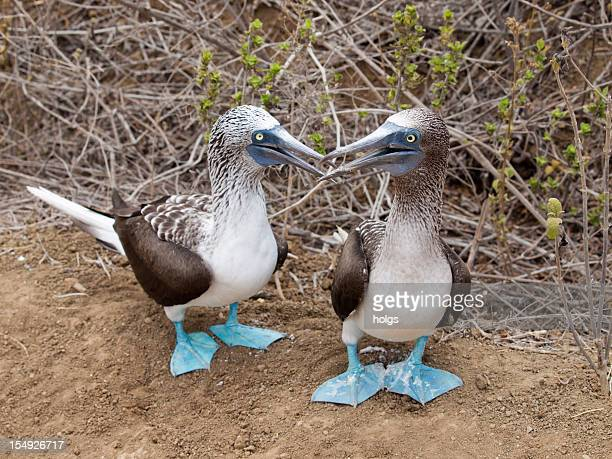 Puerto Lopez Ecuador Blue footed booby with offspring