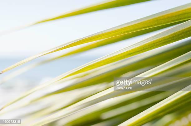 USA, Puerto Rico, Ricon, Palm leaf