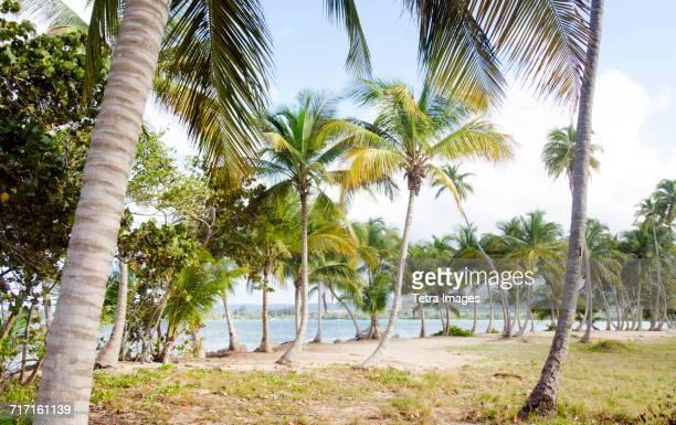 puerto rico, rio grande, palm trees on beach - rio grande puerto rico stock pictures, royalty-free photos & images