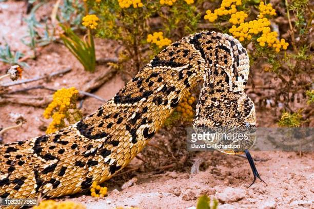 puff adder, bitis arietans, photographed in the west coast national park, western cape province, south africa. - gangrena fotografías e imágenes de stock