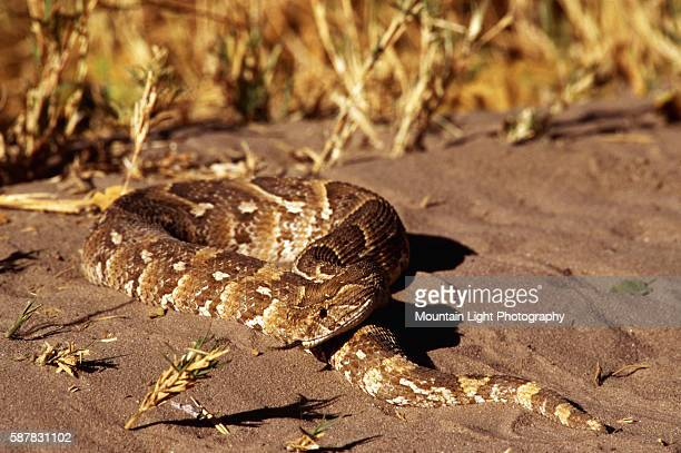 Puff Adder in Sand