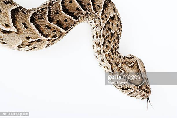 Puff Adder snake, close up, elevated view, studio shot