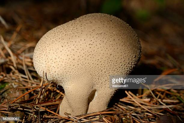 Puffball, Lycoperdon
