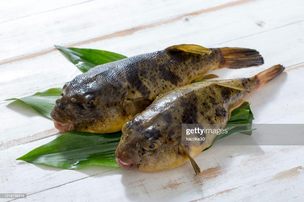 Puffer fish : Stock Photo