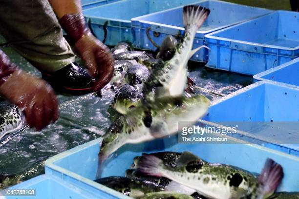 Puffer fishes are auctioned for the first time of the season at Haedomari Market on September 21 2018 in Shimonoseki Yamaguchi Japan