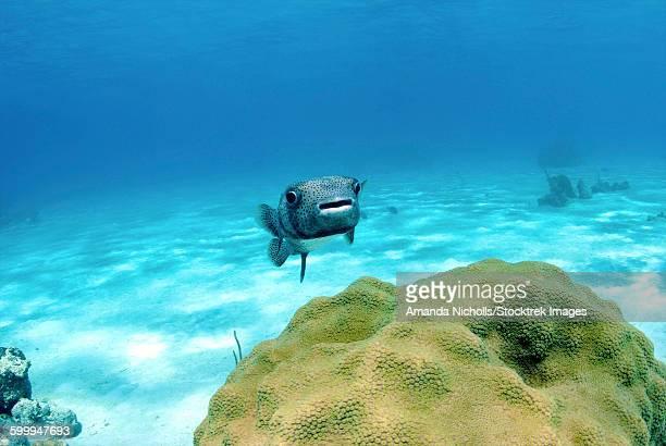 Pufferfish swimming by star coral, Nassau, The Bahamas.