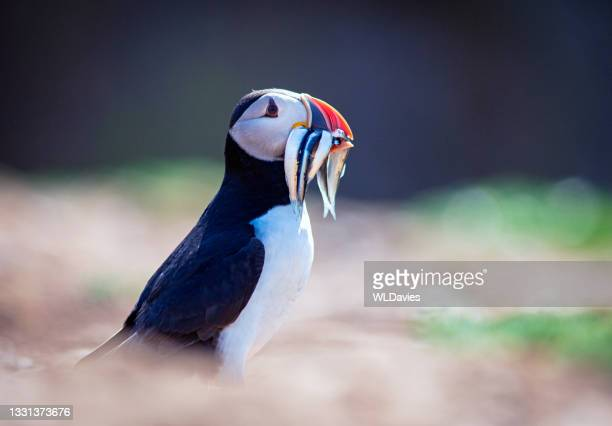 puffin and sand eels - animal head stock pictures, royalty-free photos & images
