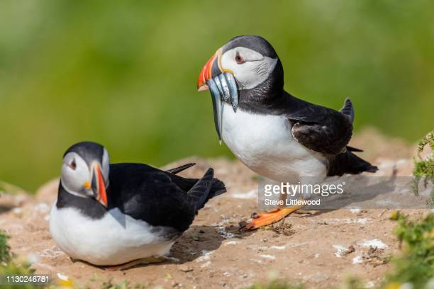 Puffin. Atlantic Puffin. Species (Fratercula arctica), Family (Alcidae), Order (Charadriiformes)