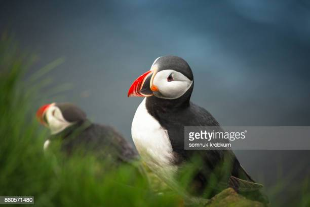 puffin bird in summer - westfjords iceland stock photos and pictures