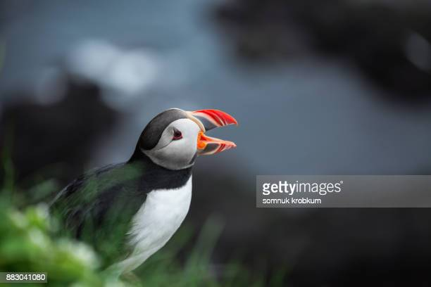 puffin bird in summer - becco foto e immagini stock
