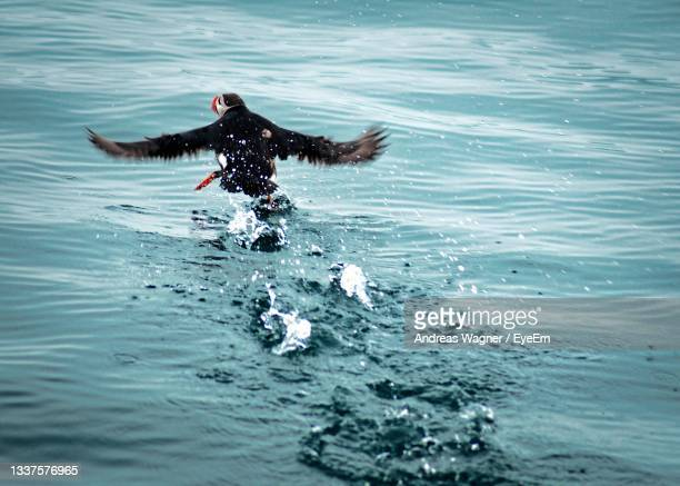 puffin bird swimming in sea - svalbard and jan mayen stock pictures, royalty-free photos & images