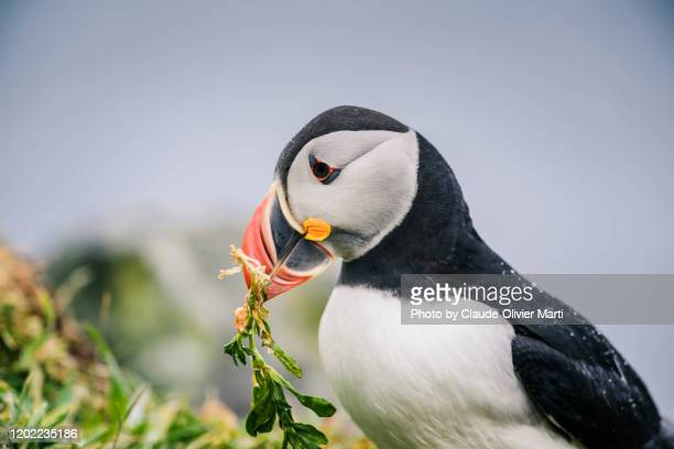 puffin colony on treshnish isles - volcanic terrain stock pictures, royalty-free photos & images