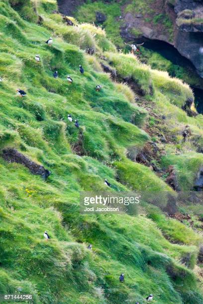 Puffin colony on Westman Islands in Iceland