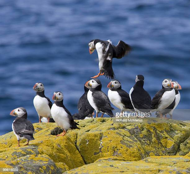 Puffin Farne Islands