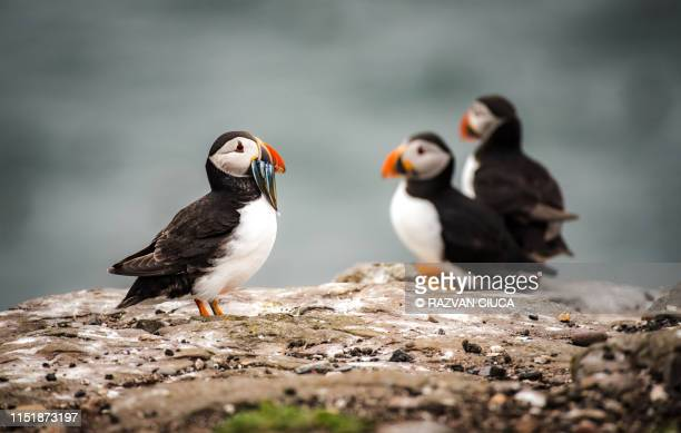 puffin fishing - wildlife stock pictures, royalty-free photos & images