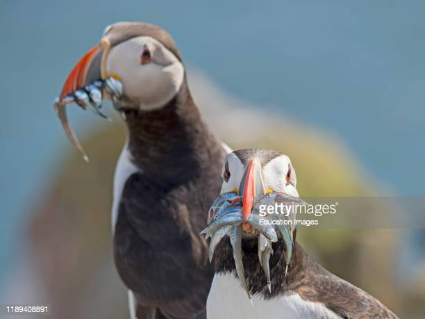 Puffin Fratercula arctica with a beak full of fish on Inner Farne farne Islands Northumberland