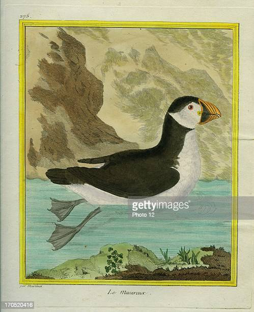 Puffin FraterculaPuffinGeorgesLouis Leclerc Comte of Buffon 'Natural History of birds fish insects and reptiles' coloured and engraved by...