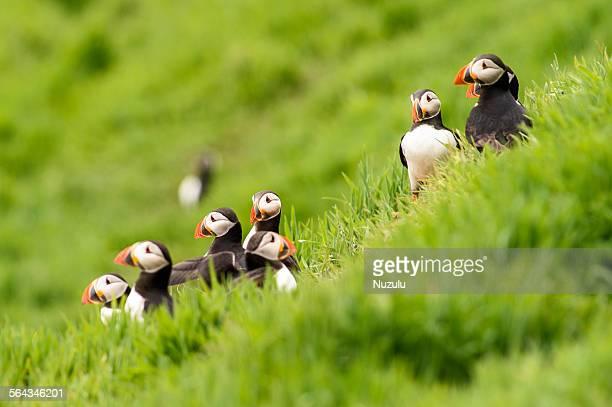 Puffin gathering on grassy knoll, Skomer Islan