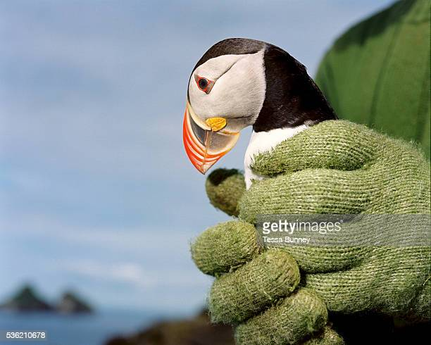 Puffin hunter Jakob Erlingsson holds a puffin he has caught using a net in his hands It is a tradition amongst puffin hunters to release the first...