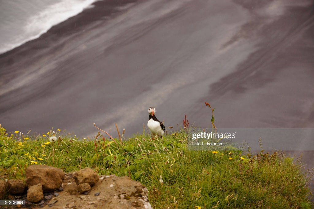 Puffin looking at the camera : Foto de stock