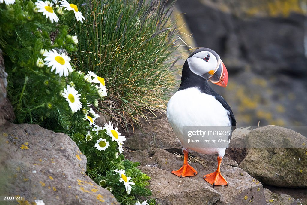 Puffin on rock with flowers : Stock Photo