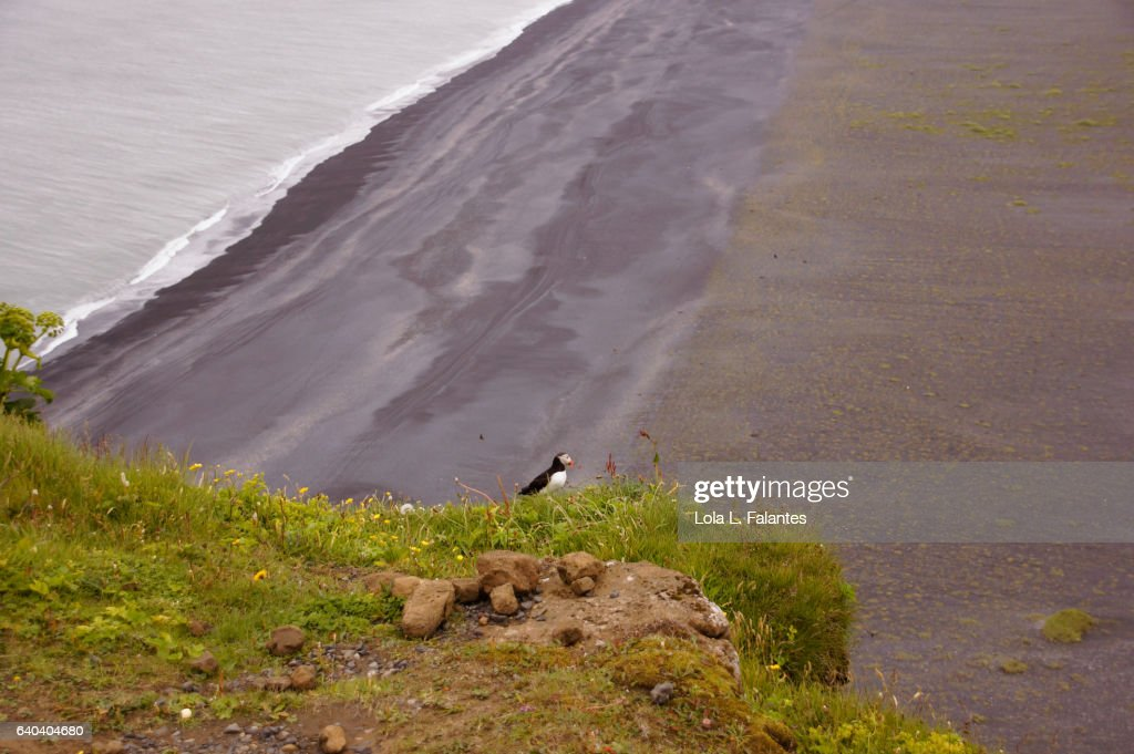 A puffin on the cliff over the black sand beach : Foto de stock