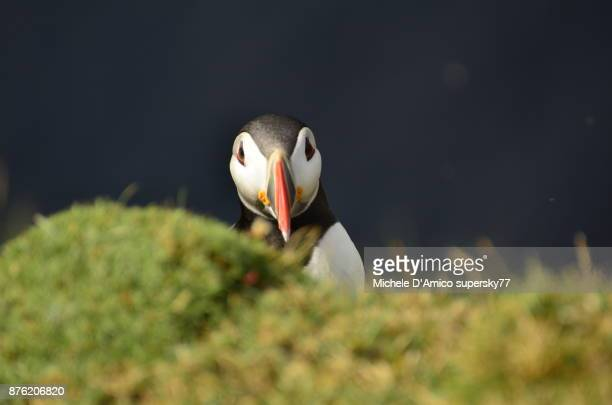 Puffin on the cliff
