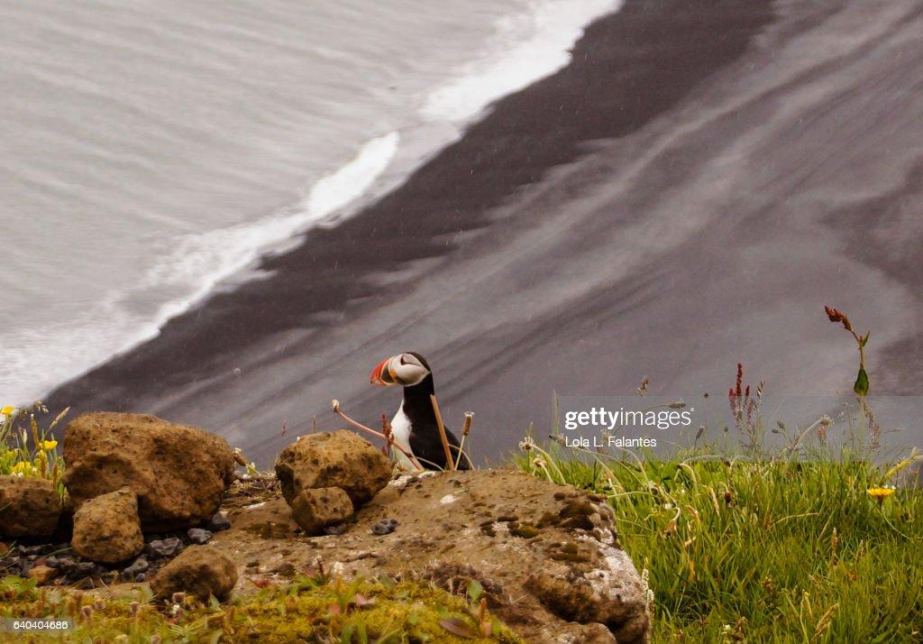 Puffin over the black beach : Foto de stock