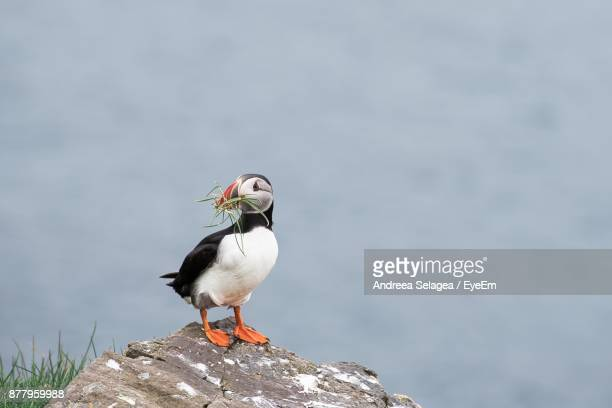 Puffin Perching On Rock