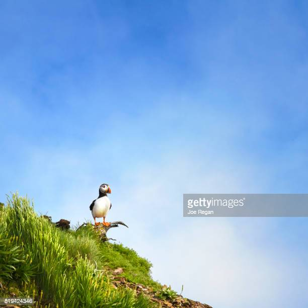 puffin - newfoundland and labrador stock pictures, royalty-free photos & images