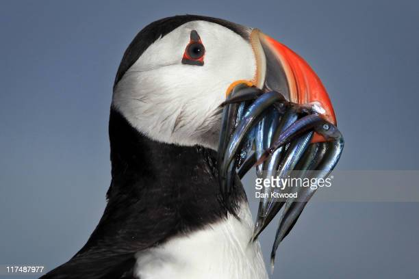 Puffin returns to it's nest with a beak full of sand eels on June 25 2011 on Inner Farne England The Farne Islands which are run by the National...