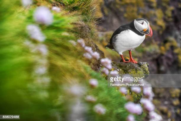 Puffin sitting on clifftop, Latrabjarg, Iceland