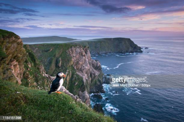 puffin standing on a cliff edge - isole shetland foto e immagini stock