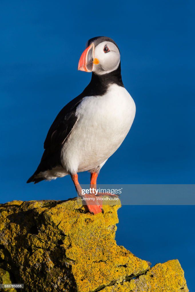 Puffin standing on algae rock : Foto stock