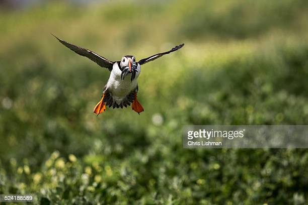 Puffin with Catch