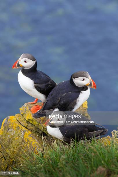 puffins at latrabjarg cliff, westfjord, iceland - westfjords iceland stock photos and pictures