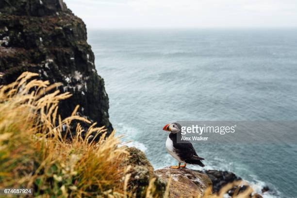 Puffins at Látrabjarg cliffs, the westernmost point in Iceland.