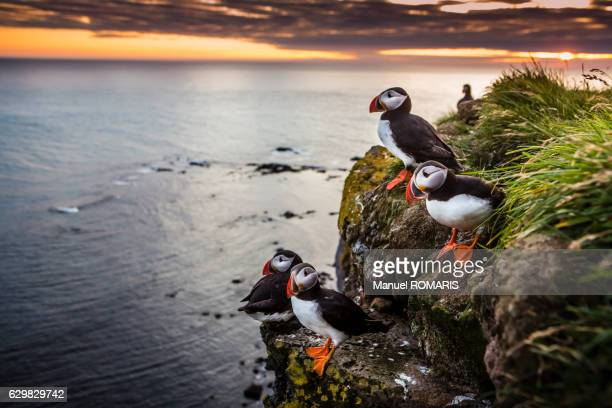 Puffins at sunset