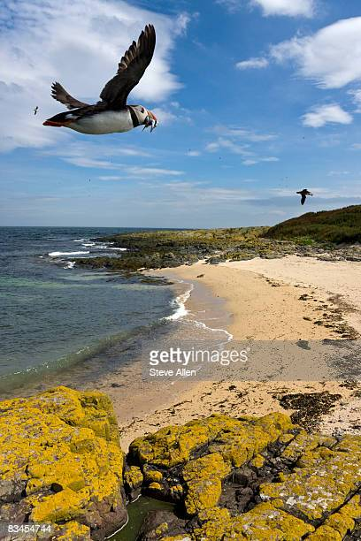 puffins flying over the farne islands - zeevogel stockfoto's en -beelden