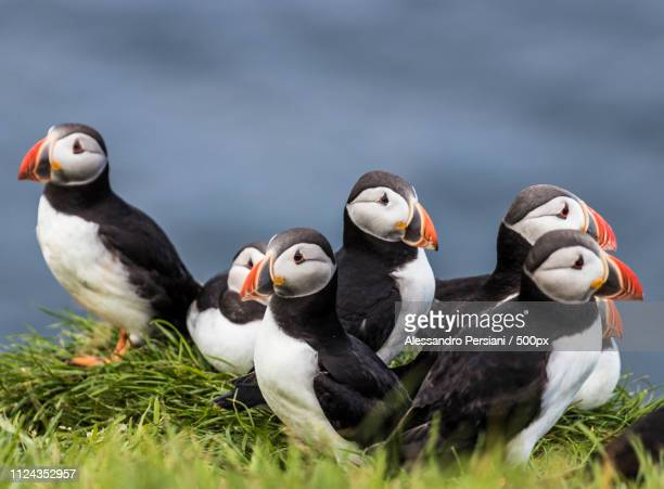 puffins in mykines faroe island. - faroe islands stock pictures, royalty-free photos & images